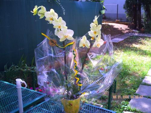 orchidée 1 er juillet 001.jpg