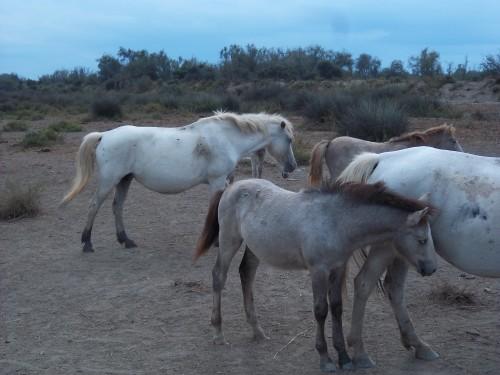 chevaux 100_1847.JPG