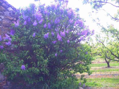 lilas arras 1 er mai 2009 001.jpg