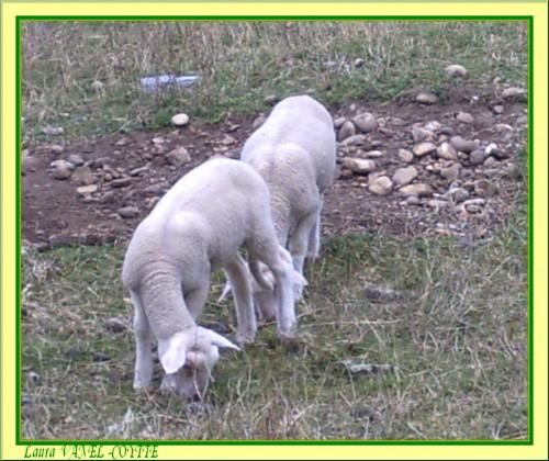 moutons_transformés par Lilounette avec nom.jpg