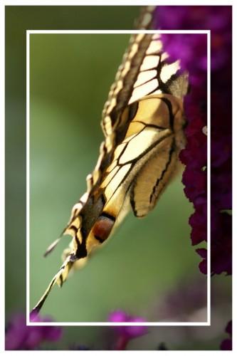 20090723_35- Ailes de papillon.jpg