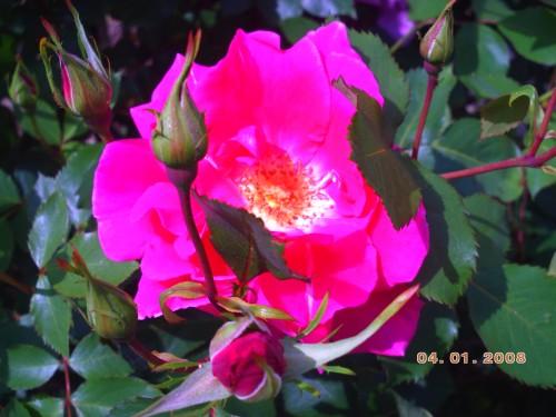 rose chabeuil 3 mai 2009 023.jpg